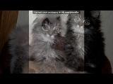 «сибирский котенок . девочка » под музыку Борис Гребенщиков и группа