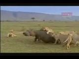 Львы против гиппопотама